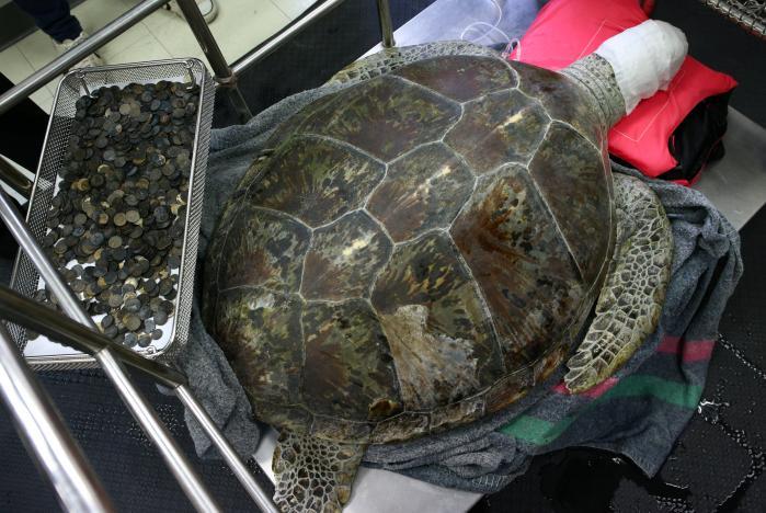 استخراج 915 عملة معدنية من بطن سلحفاة بحرية تدعى الحصالة في تايلاند